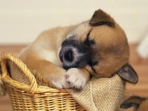sleepy_puppy