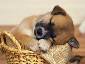 sleepy_puppy