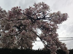 Cherry tree March 2015